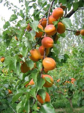 apricots-cherries