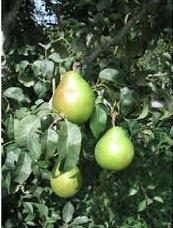 danjou-pears