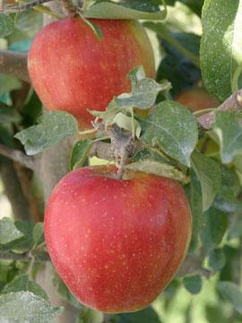 dessert-apples