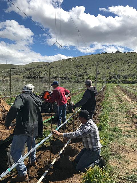 New planting of Kingston Black Cider Apples